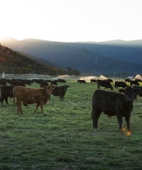 Raising the Steaks: Sourcing Michelin-Star Beef